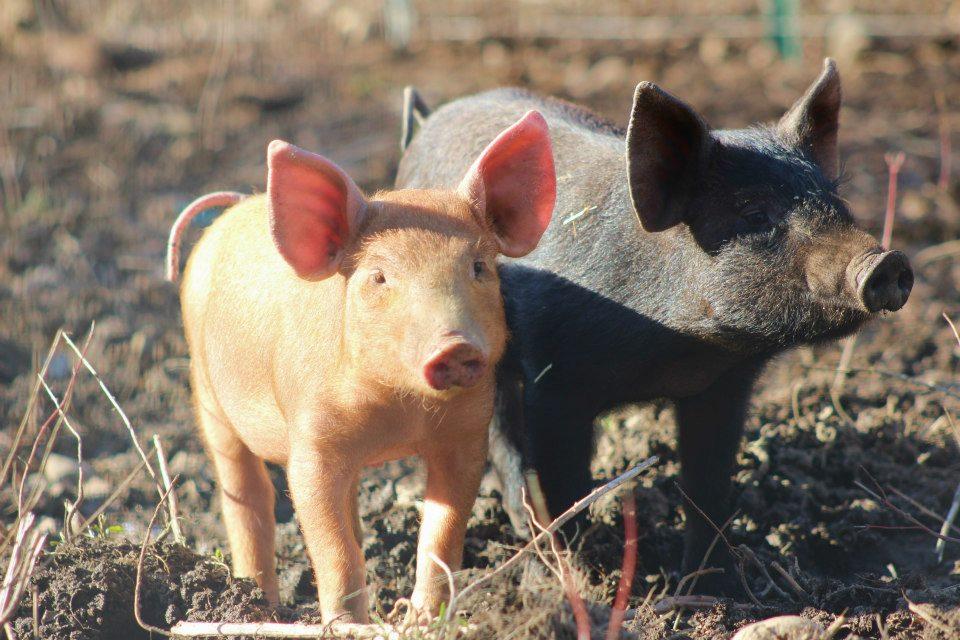 Piglets from Breezy Pond Farm