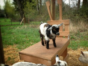 Goat Kid on Bench