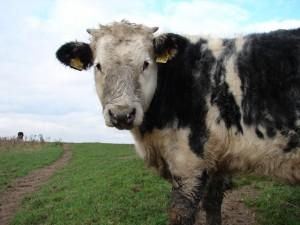 Raising Cattle