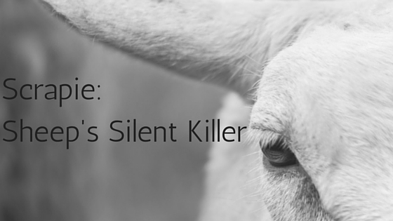 Scrapie Sheep's Silent Killer