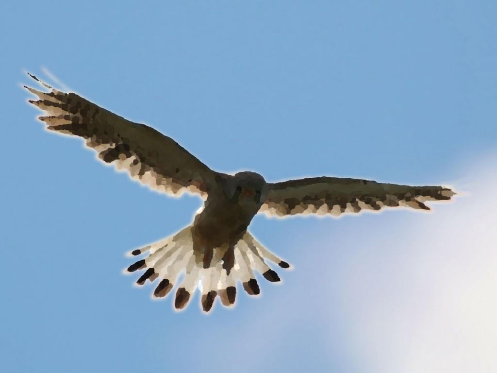 Windhover - common kestrel
