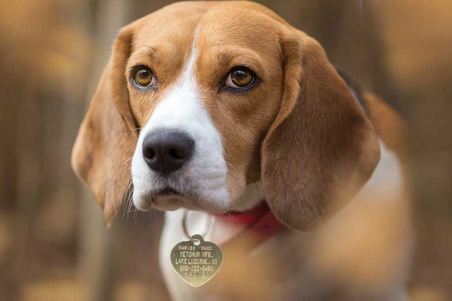 Dog with rabies tag