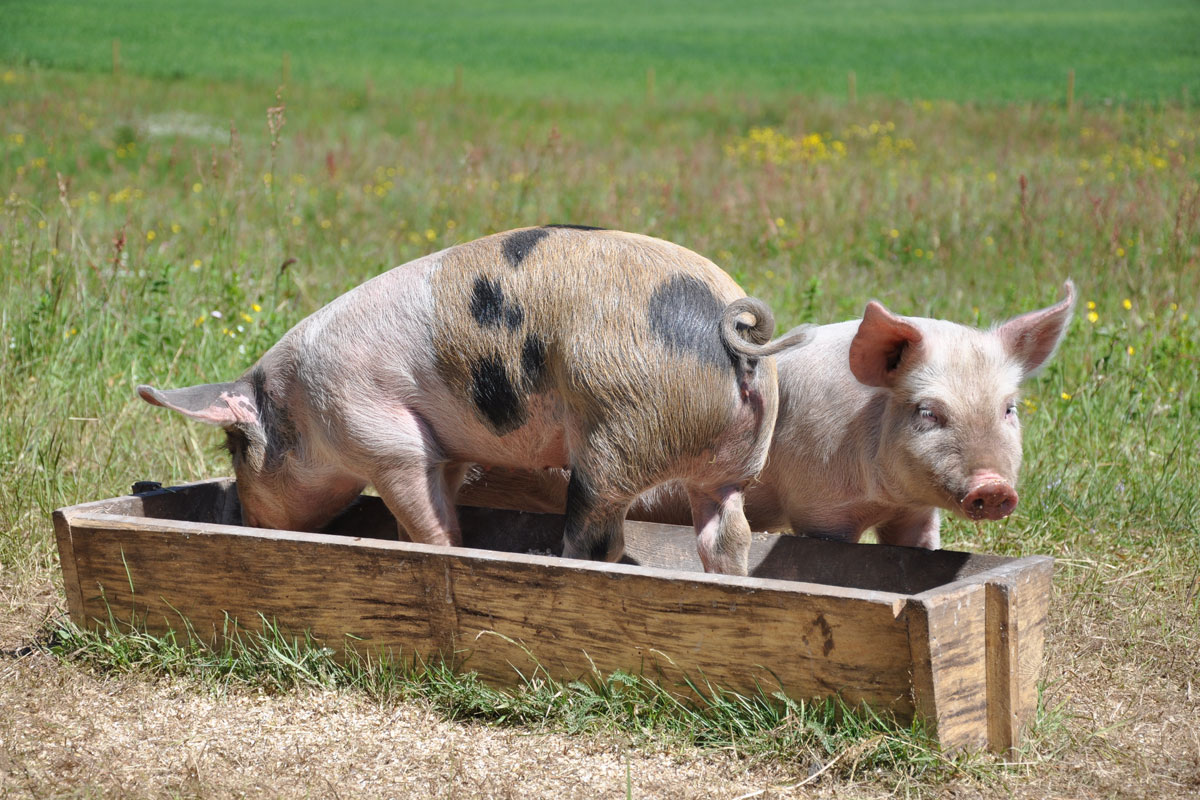 Pigs at a farm playing in a trough