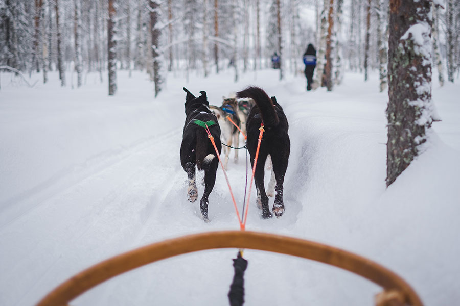 Sled dogs in winter