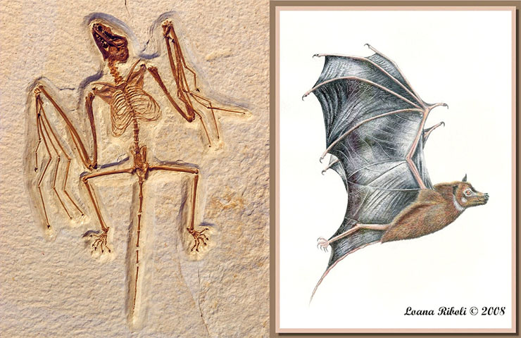 Bat fossil and reconstruction drawing