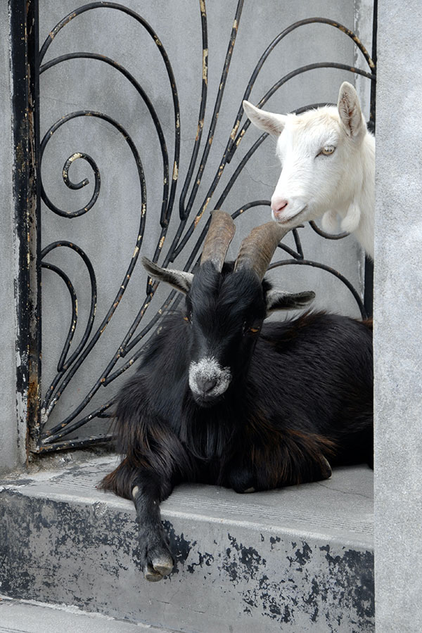 Black and white goats in doorway
