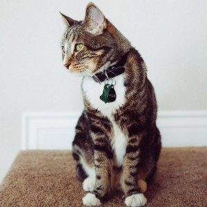 Pet cat with 2019 rabies tag (green bell)