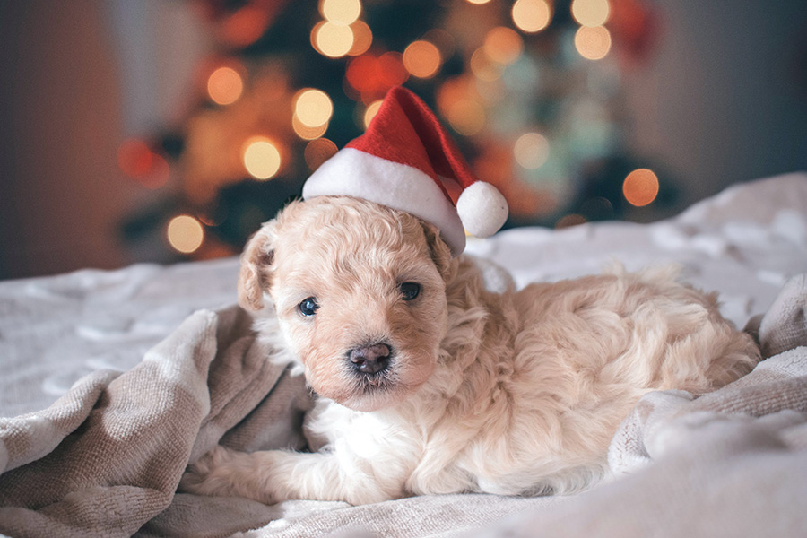 Puppy with Santa hat