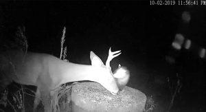 Opossum eating ticks off deer's face