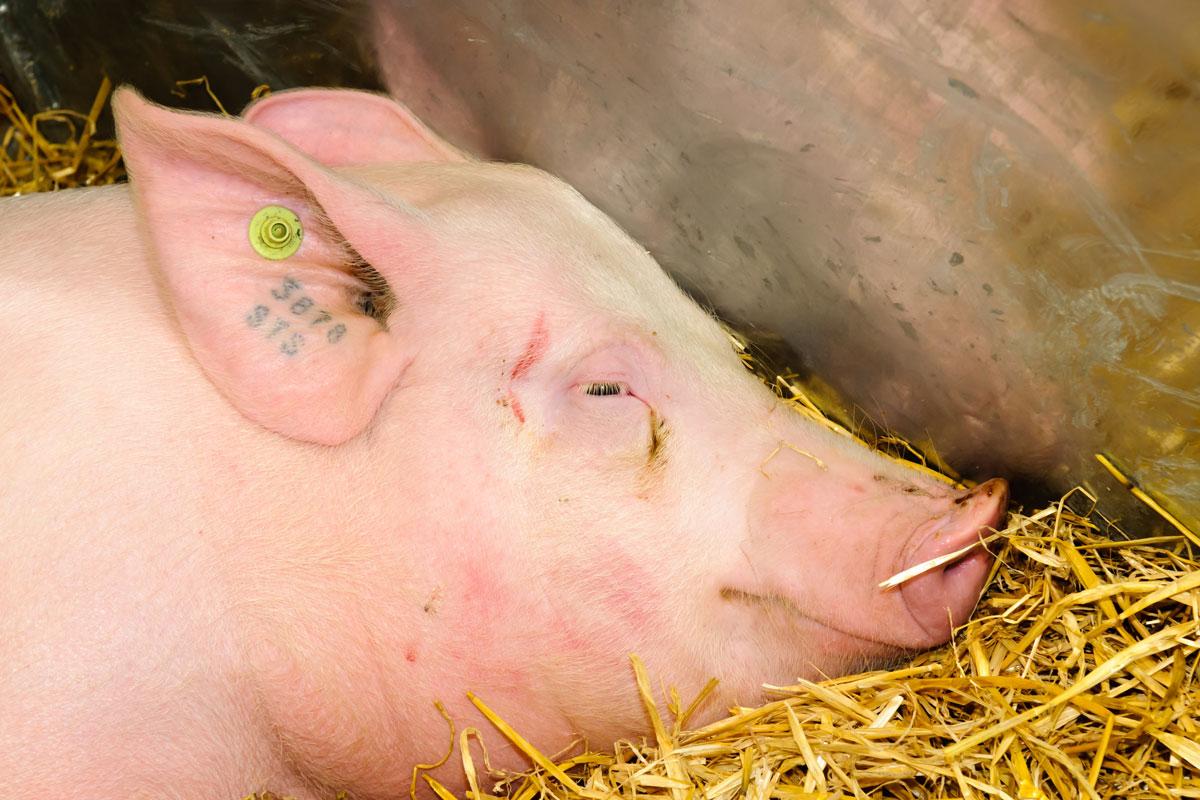 Hog with ear tattoo and ear tag