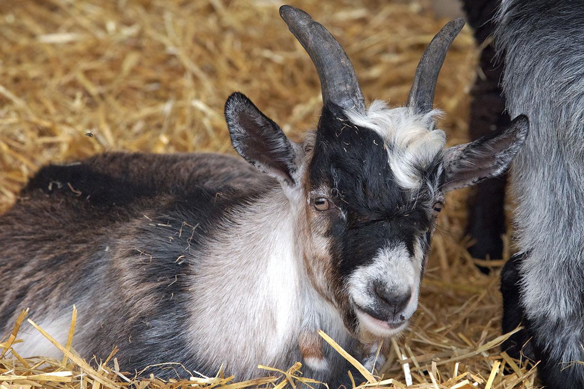 Pet Pygmy Goat