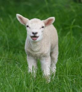 lamb[1]