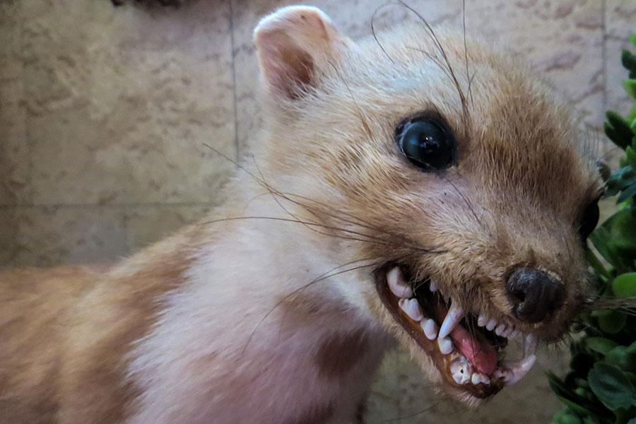 Wild marten with rabies