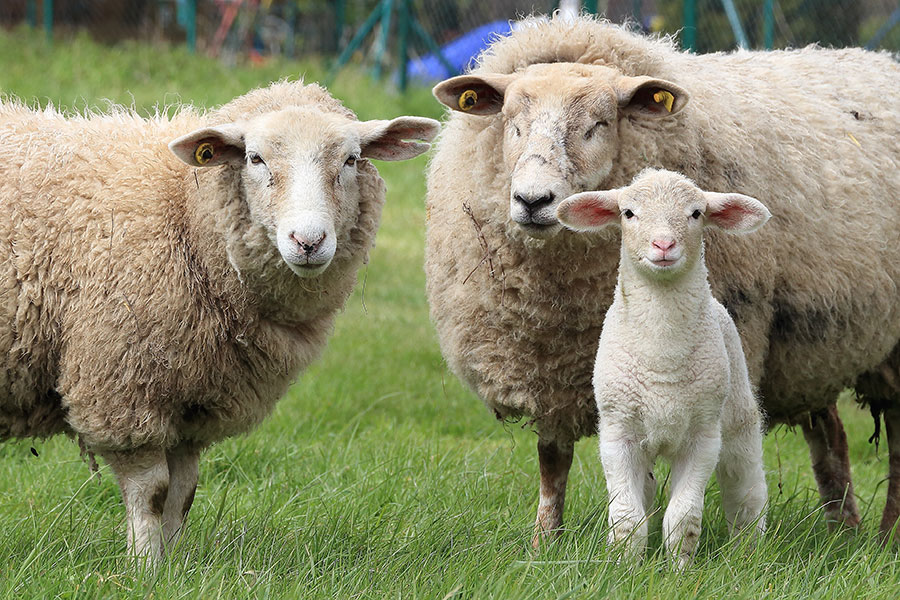 Two sheep with lamb
