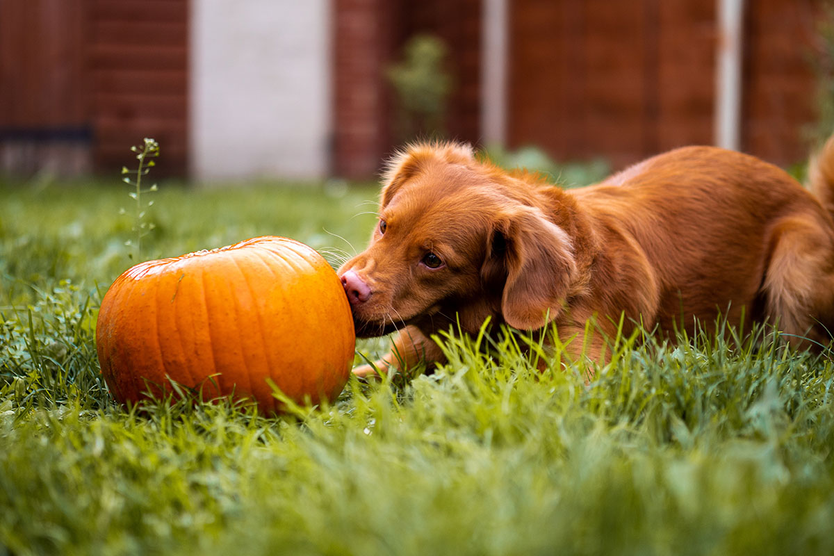 Dog playing with pumpkin