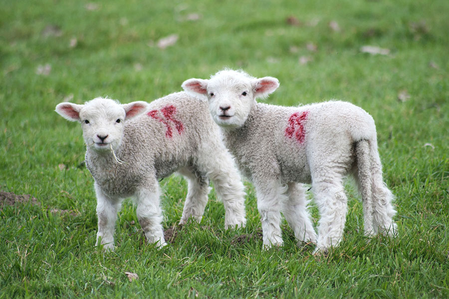 Two lambs in pasture