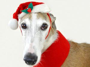 Dog wearing Santa cap
