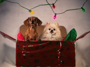 Dogs in gift box
