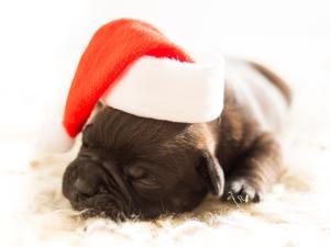 Pup wearing Santa cap