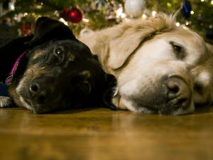 Two dogs sleeping under holiday tree