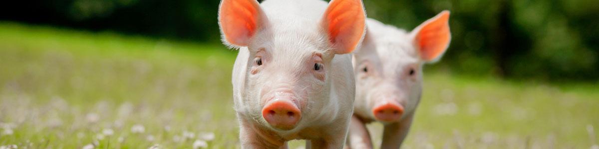Pig tattooing supplies