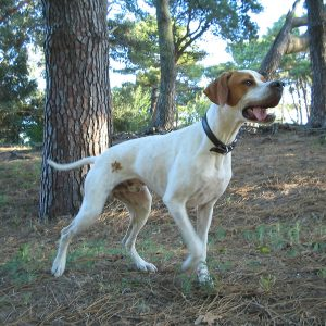 Bird-hunting pointer dog