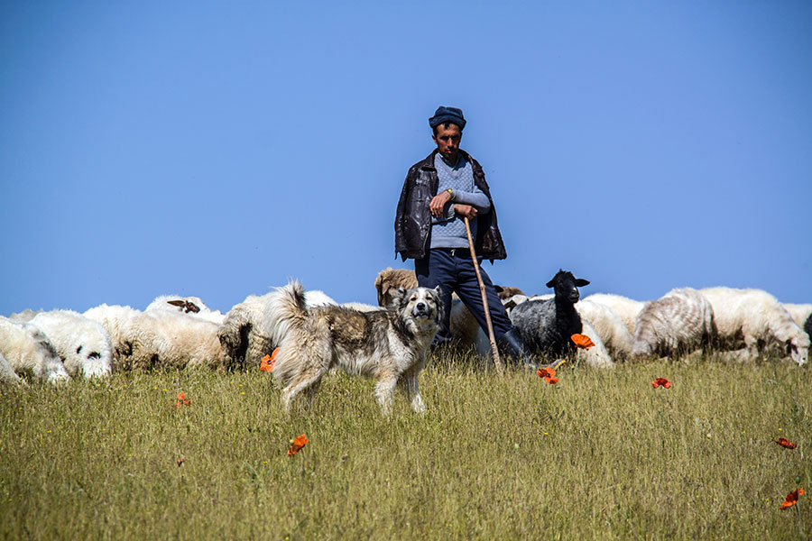 Shepherd with sheep and herding dog